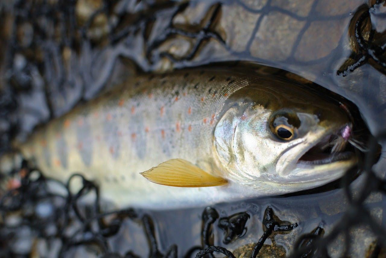 白川で釣れたアマゴ
